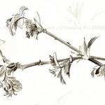 PEINTUREMEMANLOTUS | CHRISTIANE ALLENBACH |  DESSIN |BOURGEONS FEUILLES ET FLEURS
