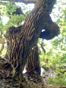 CHRISTIANE ALLENBACH Quercus robur
